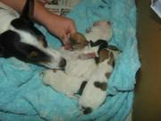 Jack Russel x Jack Russel/Fox Terrier Puppies