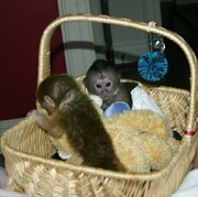 Gorgeous Baby Capuchin monkeys