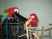 Loving pair of Green wing macaw parrots for sale.